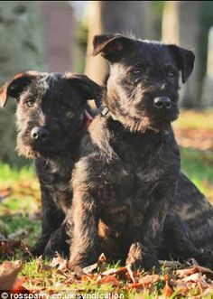 This Little Terrier Got A Big Rottweiler Pregnant. The Resulting Puppies Are Simply Stunning | EMGN | Page 6