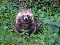 "in German it's called a ""Marderhund"" other names are Tanuki or Enok (Nyctereutes procyonoides) Isn't that just a precious little, cuddly, fluffy, doggy thing? <3"