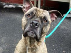 Manhattan Center  BULLY - A0989549 MALE, Y BRINDLE, PIT BULL MIX, 5 yrs OWNER SUR - ONHOLDHERE, HOLD FOR DOHMULTIPL Reason ATT ANIMAL  Intake condition NONE Intake Date 01/14/2014, From NY 10027,Medical Behavior Evaluation GREEN  Medical Summary SCAN POSITIVE 985121005314908 BRIGHT, ALERT, RESPONSIVE, HYDRATED PHYSICAL EXAM-MILD TARTAR, NEUTER, LIMPING ON (l) HIND, NOSF  https://www.facebook.com/photo.php?fbid=753481391331409&set=a.617938651552351.1073741868.152876678058553&type=3&theater
