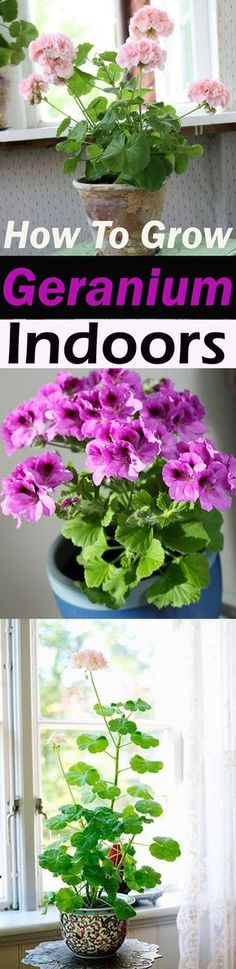 to Grow Geranium Indoors Year Round How to Grow Geranium Indoors Year Round Balcony Garden Web How to Grow Geranium Indoors Year Round How to Grow Geranium Indoors Yea. Growing Geraniums, Growing Plants, Growing Vegetables, Unique Plants, Exotic Plants, Container Flowers, Container Plants, Succulent Containers, Flower Planters