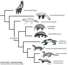 Revised phylogeny of mustelids and kin based on strict consensus recovered by Sato et al. (2012). Note that skunks are not mustelids at all, and in fact are further from mustelids than are raccoons and red pandas. The relationships between the main mustelid lineages is also different from what's been suggested on the basis of morphological data