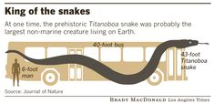 Titanoboa (meaning titanic boa) lived 60-58 million years ago during the Paleocene epoch, a 10-million year period following the dinosaur extinction event. In 2009 fossils of 28 titanoboas were found in the coal mines in La Guajira, Columbia. The largest individuals would have been 42 feet long and weighed about 2,500 lbs.
