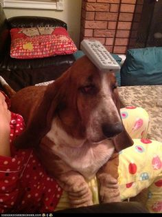 basset hound with a remote on his head
