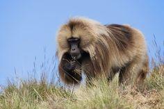 Gelada baboon by Stefan Cruysberghs, via 500px