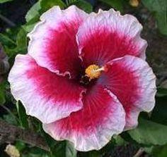 "R.J. ""Tahitian Cherry Blossom""...Hybrid"