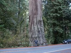 Really big tree!