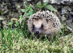 The Curious Hedgehog