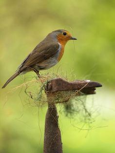 A Robin ~ In The Process of Building A Nest...