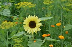 Buttercream Sunflower at Coastal Maine Botanical Gardens