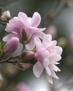 *pink magnolia