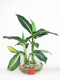 You don't need to have a green thumb to grow houseplants in water. Even if you've killed every houseplant growing in soil that you have ever had, your success is almost guaranteed when growing them in water. Plants Grown In Water, Water Plants Indoor, Hydroponic Gardening, Hydroponics, Container Gardening, Indoor Gardening, Organic Gardening, Large Plants, Cool Plants