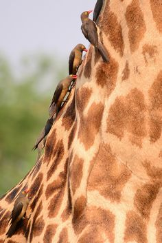 Red-billed Ox-peckers (Buphagus erythrorhynchus) on a Thornicroft's Giraffe - South Luangwa National Park, Zambia.