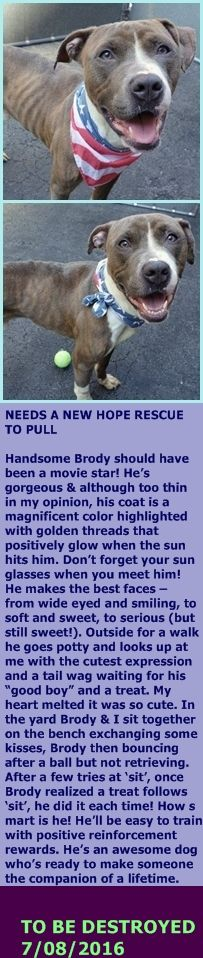 MURDERED 7/8/16 --- Manhattan Center  My name is BRODY. My Animal ID # is A1079809. I am a male br brindle and white am pit bull ter mix. The shelter thinks I am about 1 YEAR  I came in the shelter as a STRAY on 07/03/2016 from NY 10458, owner surrender reason stated was STRAY. http://nycdogs.urgentpodr.org/brody-a1079809/