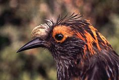 Endangered Species Spotlight: the ʻĀkohekohe - This gorgeous bird is only found on the island of Maui in Hawaii. It's called the ʻĀkohekohe (Palmeria dolei) and there are only around 3,800 individuals left in two separate populations on the island. TheʻĀkohekohe  is easily distinguished by the tuft of silvery-white feathers on its beak and its distinctive calls. Hopefully with continuing conservation efforts we can save this wonderful little bird!