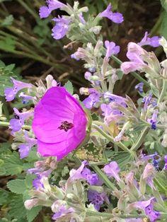 Nepeta faassenii (catmint), Geranium 'Roseanne' - front garden, left corner Garden Pictures, Geraniums, Succulents, June, Corner, Flowers, Plants, Art, Art Background