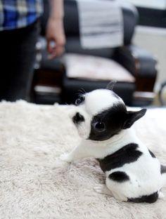 Spot | Cutest Paw