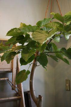 Ficus Umbellata