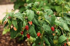 Raspberry Bushes  All the info you need to know about growing them!