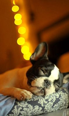 Dog:  Check out this sleeping Boston Terrier.  I've always been partial to Chihuahuas but I'm wondering if a might like a Boston Terrier dog.  Check out a huge collection of dog charms and necklaces at http://www.silveranimals.com/dog_jewelry_necklaces.htm