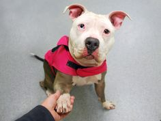 CHIFFON - A1058519 - - Manhattan TO BE DESTROYED 11/28/15 A volunteer writes: Chiffon's name may conjure up images of a dainty girly-girl but don't let that pink coat and her pretty blue-n-brown eyes fool you, this sweet snowball is a tomboy through and through! She's quiet in her den, extremely well-trained in every way but leash walking, affectionate and gentle (though selective) with her friends and boy, does she LOVE to play. Fetch and tug-o-war are h