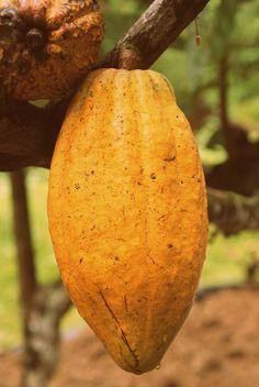 Pick Cacao And Make Chocolate - I Know But I LOVE Chocolate