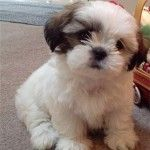 Such an Adorable Shih Tzu. I can't get enough of these dogs, love them. Great family dogs and so loving  Cutest face ever!