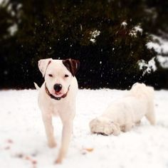 American Bulldog❤ I think this is what Ronin is going to look like when he grows up