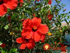 How to Make Paste Shampoo From Fresh Hibiscus Flowers and Leaves Surf Tattoo, Hibiscus Flowers, Grow Hair, Soap Making, Beautiful Flowers, Your Hair, Eye Candy, Exotic, Natural Hair Styles