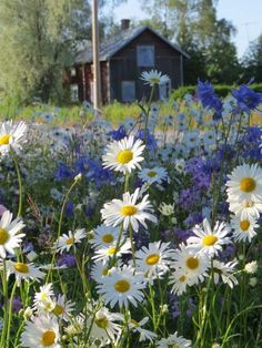 Tienreunakukkia, Finland - Miina Li - meadow of flowers Wild Flowers, Beautiful Flowers, Beautiful Places, June Flower, Daisy, Summer Dream, Summer Time, Plantation, Amazing Nature
