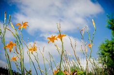 Day Lilies Look To The Sky by  Debra Martz www.debramartz.com