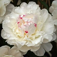 Peony Festiva Maxima - Peonies - Flowers and Fillers - Flowers by category Romantic Flowers, White Flowers, Beautiful Flowers, Wedding Flowers, Beautiful Farm, Exotic Flowers, Peony Flower, Dahlia, Peony Plant