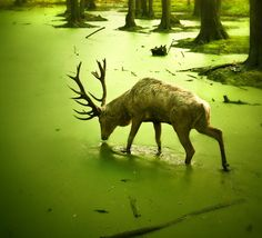 Stag wandering the waters near the Quiet Isle.
