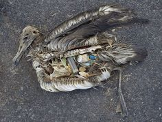 The unaltered stomach contents of a dead albatross chick photographed on Midway Atoll National Wildlife Refuge in the Pacific in September 2009 include plastic marine debris fed the chick by its parents. (Photo taken by Chris Jordan) | Permission: CC BY 2.0 http://creativecommons.org/licenses/by/2.0/deed.en