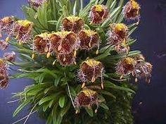 Resultado de imagem para Masdevallia Orchid