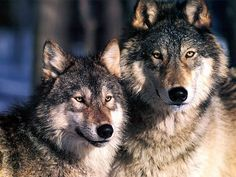 images of wolves - Google Search