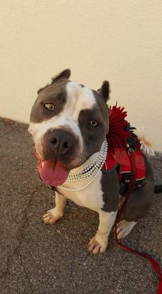 Meet Nikova, an adoptable Pit Bull Terrier looking for a forever home. If you're looking for a new pet to adopt or want information on how to get involved with adoptable pets, Petfinder.com is a great resource.