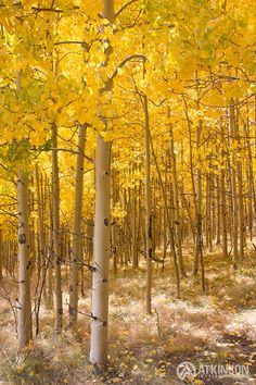 Colorado Aspens - Most beautiful trees in the world.