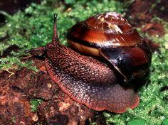 Monadenia fidelis (U.S.) http://academic.evergreen.edu/projects/ants/TESCBiota/mollusc/key/mon_fid/monfid_an.jpg