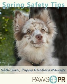 Shea - spring safetyPaws PR #PuppyRelations Manager Shea has Spring tips for pet owners: pawspr.com/blog/?p=628