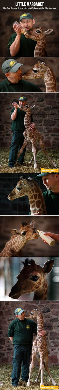 feeding a baby giraffe....beautiful I want to cuddle a baby giraffe!!
