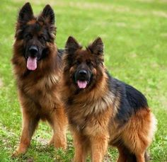Keeping Your Dog Safe at Home with Dog Fences Long Haired German Shepherd, German Shepherd Memes, German Shepherd Pictures, German Shepherd Puppies, Beautiful Dogs, Animals Beautiful, Canis Lupus, Gsd Puppies, Gsd Dog