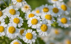 (feverfew) Top 10 self-seeding plants for a low maintenance cottage garden Cottage Garden Plants, Cottage Gardens, Free Plants, Low Maintenance Garden, Garden Borders, Plantar, Medicinal Plants, Kraut, Dream Garden