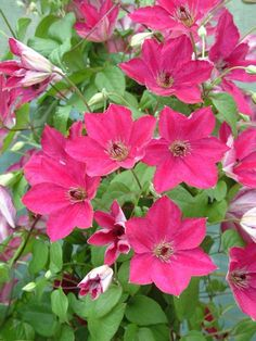 Clematis 'viticella John Howells' Very free flowering, 8-10ft tall. July to September. Prune hard - group 3. Suitable for containers.