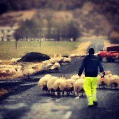 sheep herding - Iceland