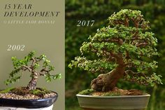 """557 Likes, 30 Comments - Gilbert Cantu (@littlejadebonsai) on Instagram: """"Check out this 15 year progression. Both pictures are to scale with one another so you can see how…"""""""
