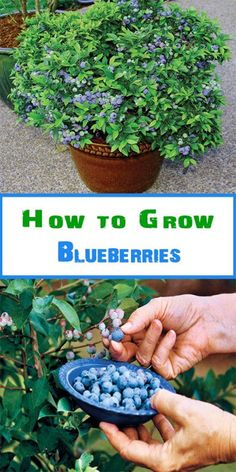 Grow blueberries in a large pot as they need the space to grow well 12 16 in diameter should suffice Blueberries grow well when planted together with strawberries. as the strawberries provide ground cover to keep the soil cool and damp (just how blueberri Veg Garden, Garden Care, Fruit Garden, Edible Garden, Veggie Gardens, Fruit Plants, Potted Garden, Balcony Garden, Potted Tomato Plants