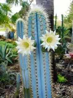 O cacto-azul pertence a família Euphorbiaceae e sua origem é brasileira.