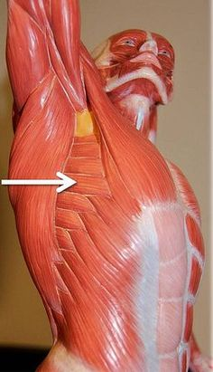Serratus anterior Abducts and protracts the scapula: Human Poses Reference, Body Reference, Anatomy Reference, Photo Reference, Art Reference, Anatomy Study, Anatomy Drawing, Anatomy Art, Muscle Anatomy