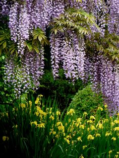 Japanese Wisteria| This is so pretty