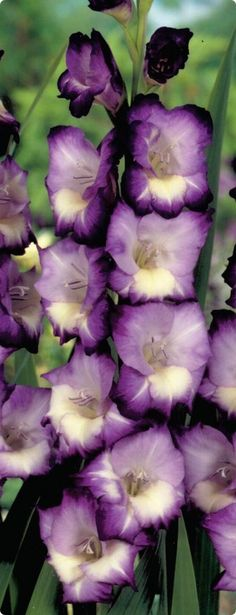 King's Lynn Gladiolas - Pretty Purple Beautiful Flowers - www.a-women.com    Flowers Flowers  Flowers